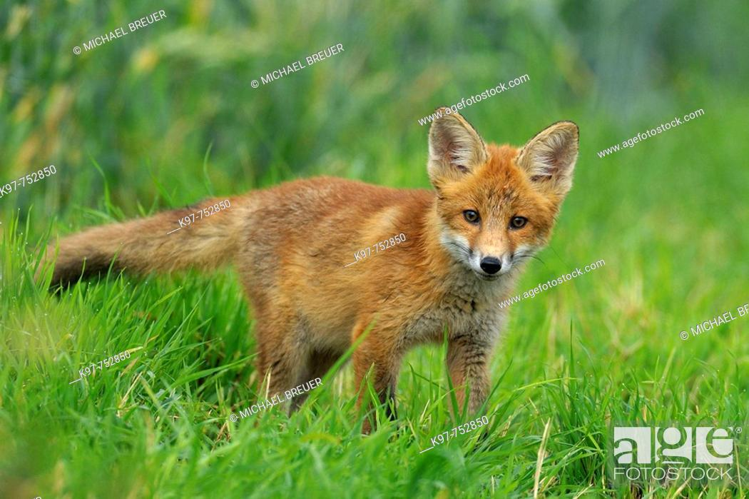 Stock Photo: Red fox, Cub, Vulpes vulpes, Germany.