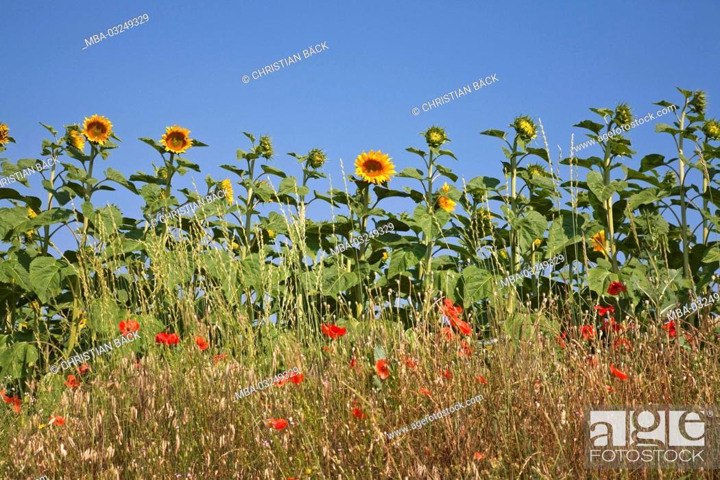 Stock Photo: Sunflower field, Riez, Provence, France,.