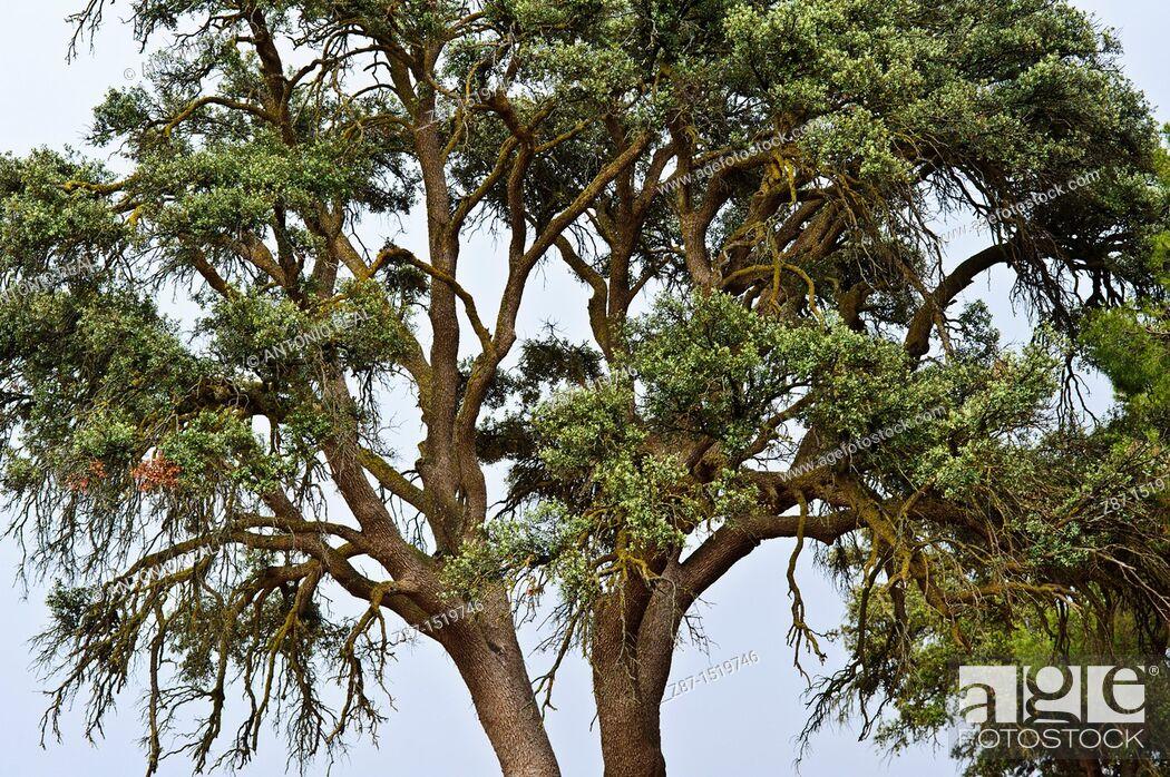 Stock Photo: Holm Oak (Quercus ilex), Almansa, Albacete province, Castilla-La Mancha, Spain.