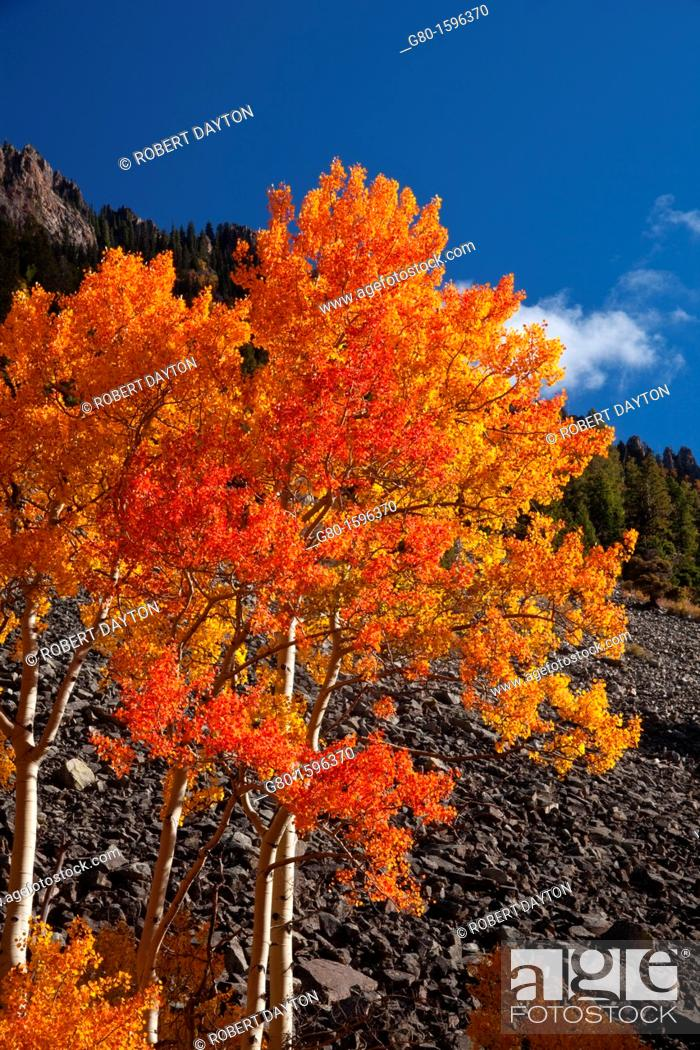 Stock Photo: A blazing Aspen during autumn in the San Juan Mountains of Colorado.