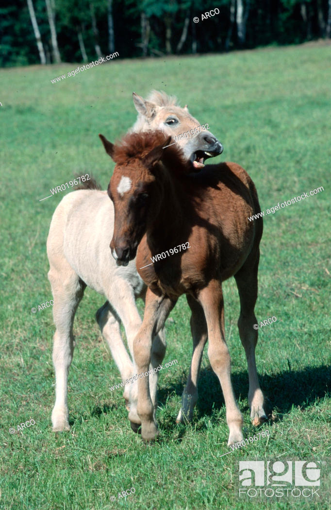 Stock Photo: Horses, playing, foals.