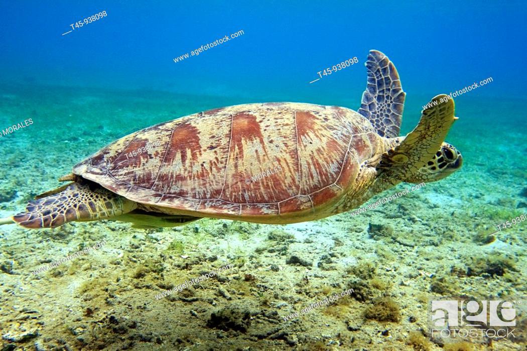 Stock Photo: Green Turtle (Chelonia mydas), Mayotte, Comoros archipelago, France.