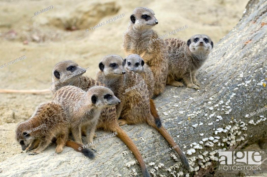 Group Of Meerkats Suricata Suricatta Linz Zoo Linz Upper