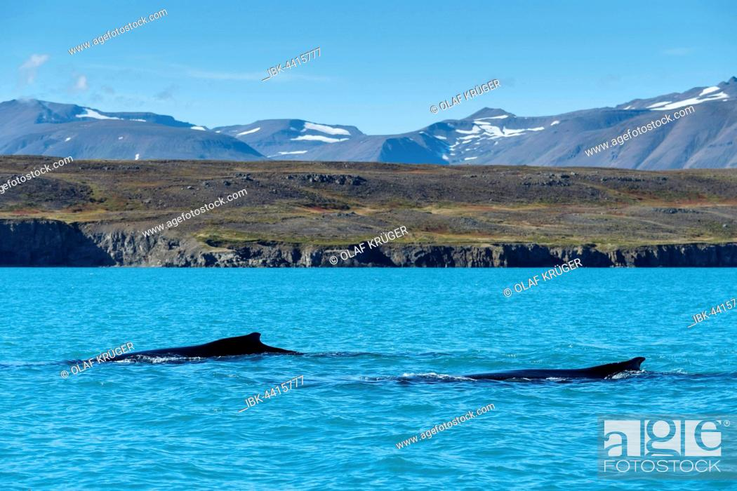 Stock Photo: Swimming humpback whales (Megaptera novaeangliae), Eyjafjörður, Iceland.