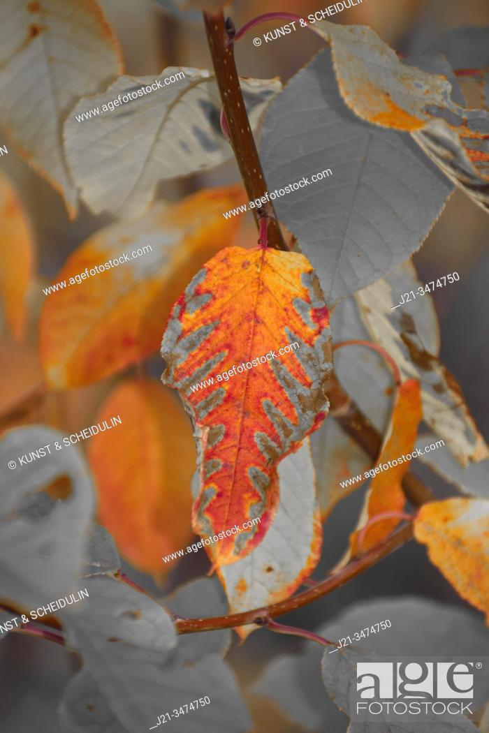 Stock Photo: Close up of an autumn-colored leaf - duotone.
