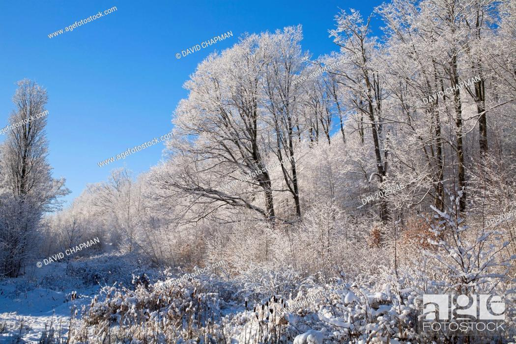 Stock Photo: snow covered maple trees, iron hill quebec canada.