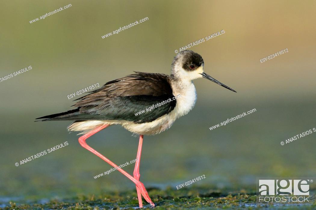 Stock Photo: Black-winged Stilt - Himantopus himantopus at Agia lake, Crete, Greece.