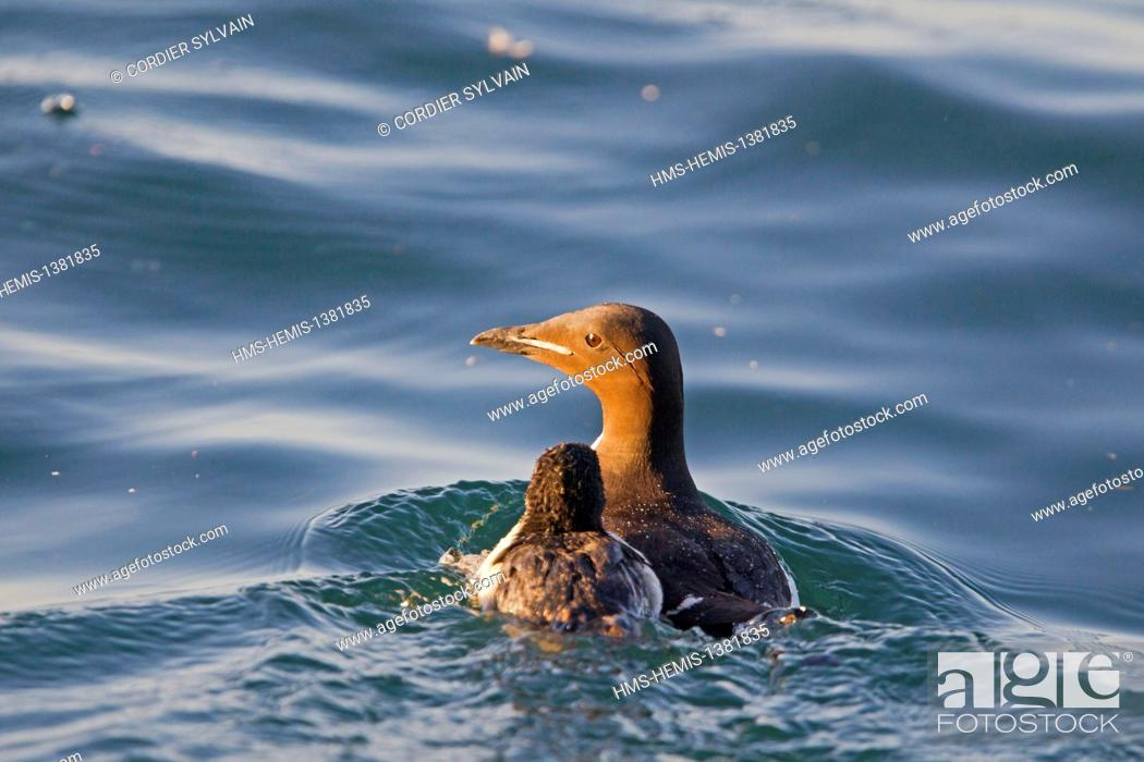 Stock Photo: Norway, Svalbard, Spitsbergen, Thick-billed Murre or Brünnich's Guillemot (Uria lomvia), adult female and young.