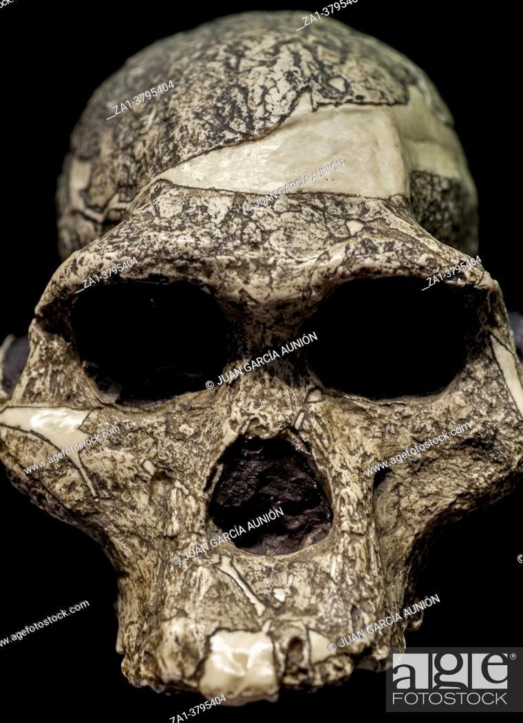 Stock Photo: Skull of Australopithecus africanus, replica. MAN, Spain. Isolated.