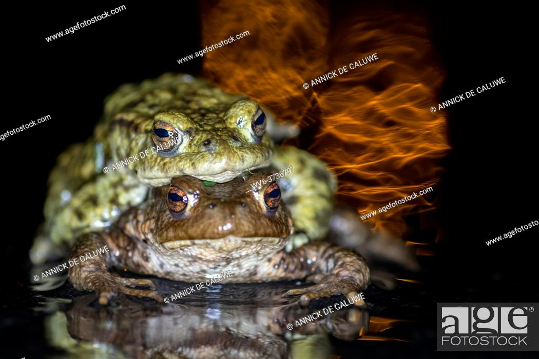 Stock Photo: Rana temporaria, toad migration light reflection.