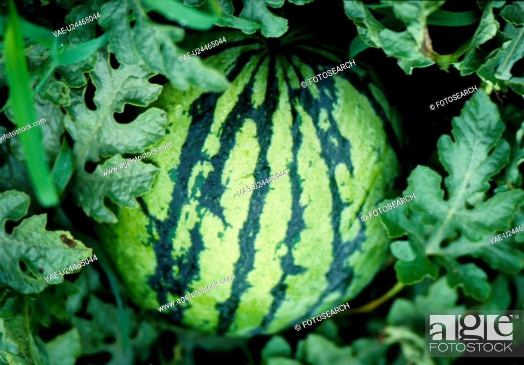 Stock Photo: fruit, nature, plants, plant, scene, watermelon, landscape.