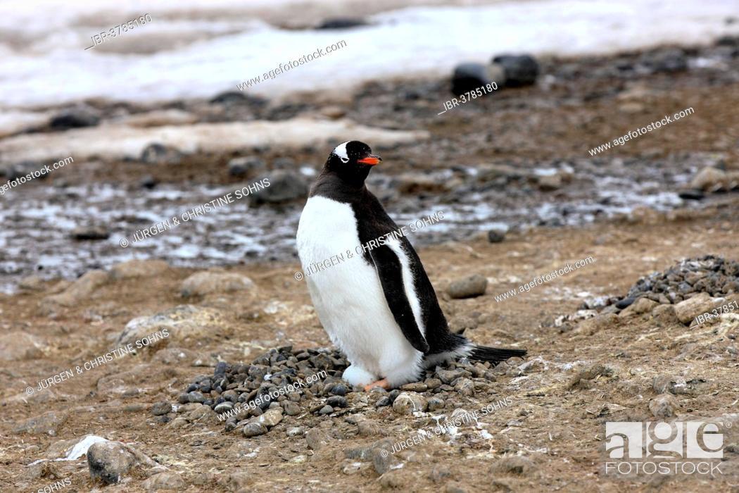 Stock Photo: Gentoo Penguin (Pygoscelis papua), on egg, brooding, Half Moon Island, Antarctica.