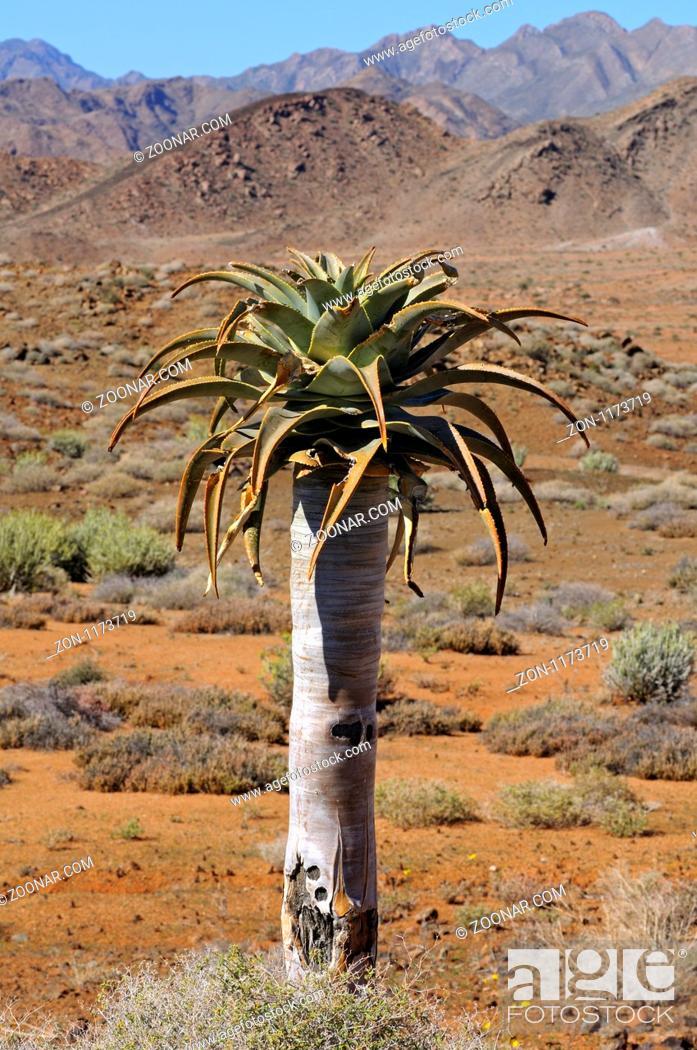Stock Photo: Berglandschaft mit Aloe pillansii im Vordergrund, Richtersveld Nationalpark, Südafrika / Mountain scenery with Aloe pillansi in the forground.