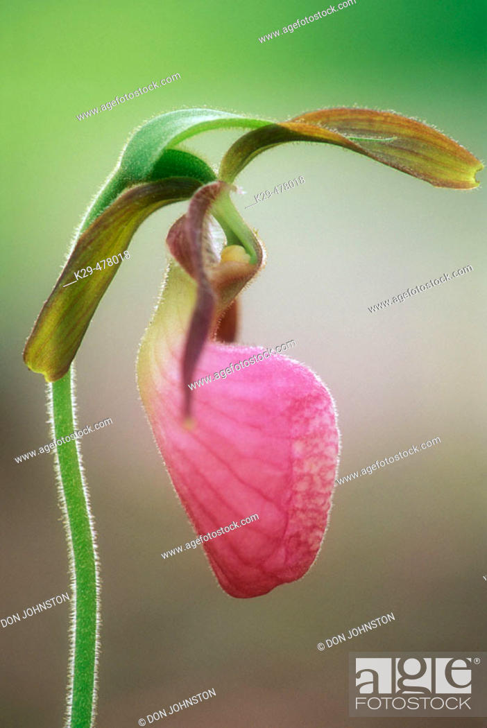 Stock Photo: Pink lady's slipper, (Cypripedium acaule). Ground levelportraits at Collins Creek. Great Smoky Mountains NP, Tennessee. USA.