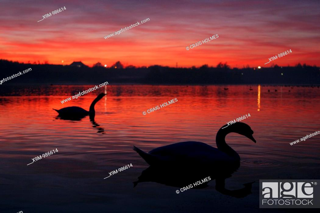 Stock Photo: Swans at sunset.