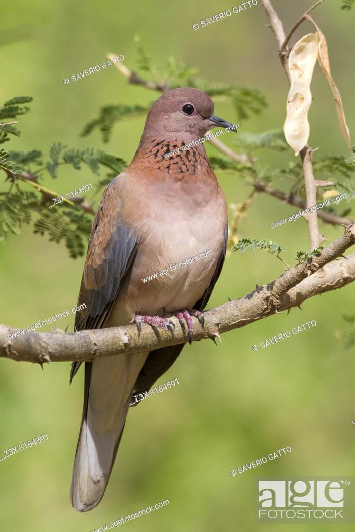 Imagen: Laughing Dove (Streptopelia senegalensis), adult perched on a branch, Ayn Razat, Dhofar, Oman.