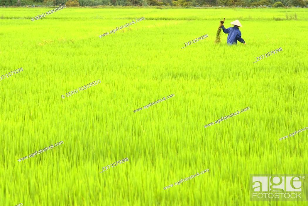 Stock Photo: Women tending the rice fields. Hoi An, Vietnam. Vietnam, Quang Nam province, around Hoi An, Rice fields.