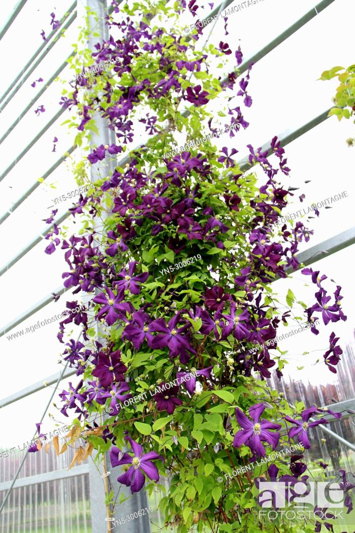 Stock Photo: Climbing clematis Vyvyan Pennell indoor in a greenhouse.