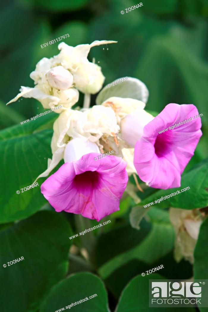 Stock Photo: Pink bellflowers - tropical plant in Thailand.