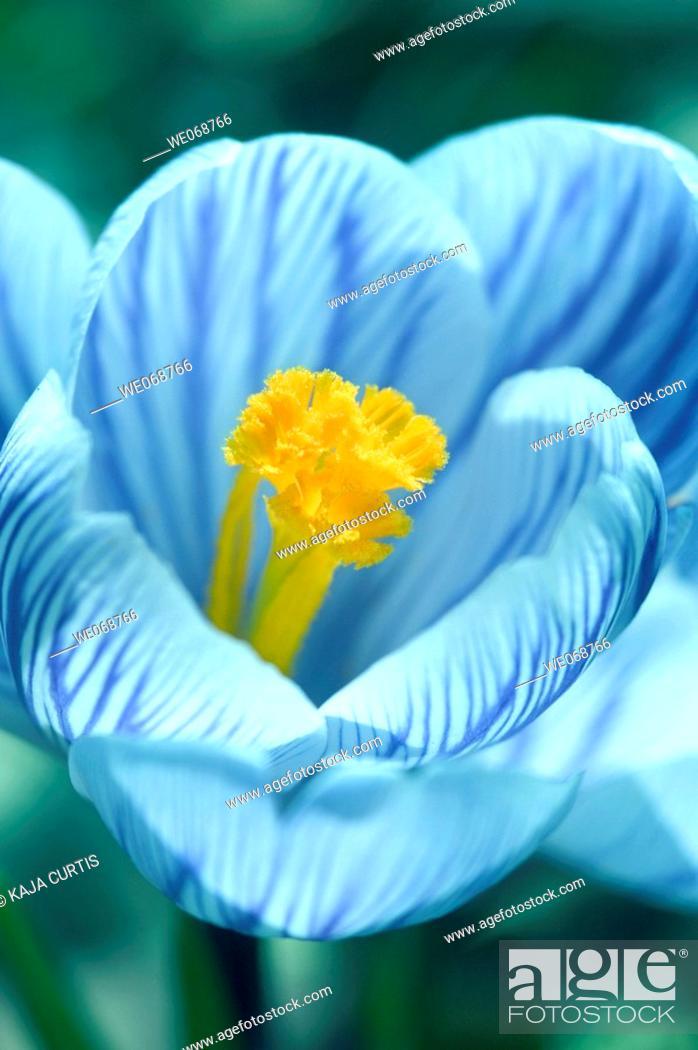 Stock Photo: Flower, Crocus.