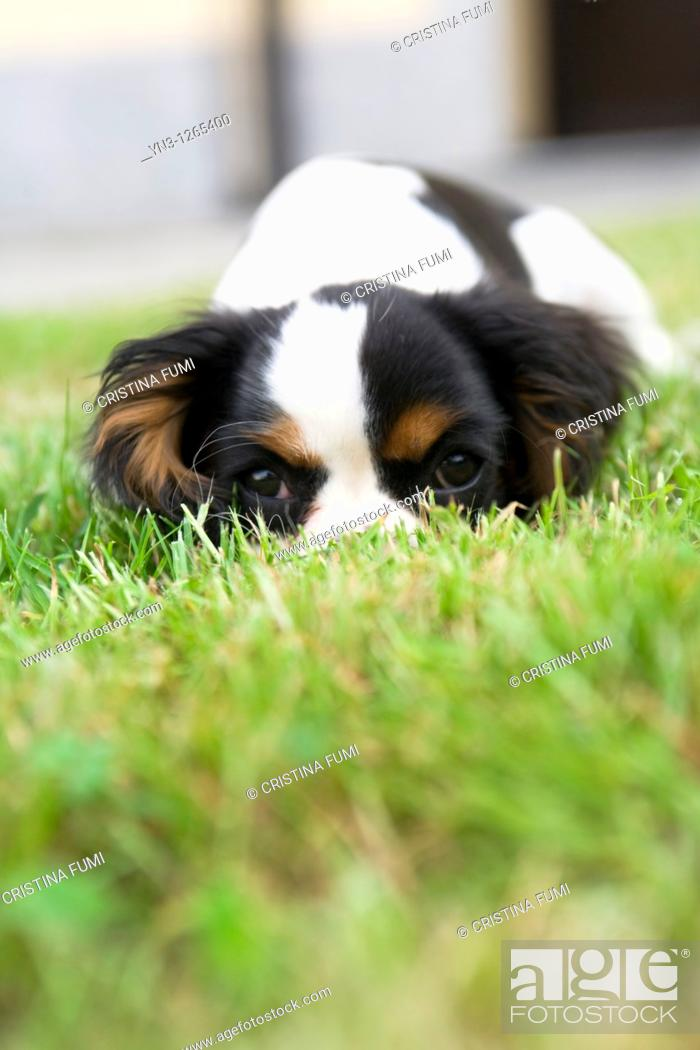 Stock Photo: Cavalier king hiding in the grass.