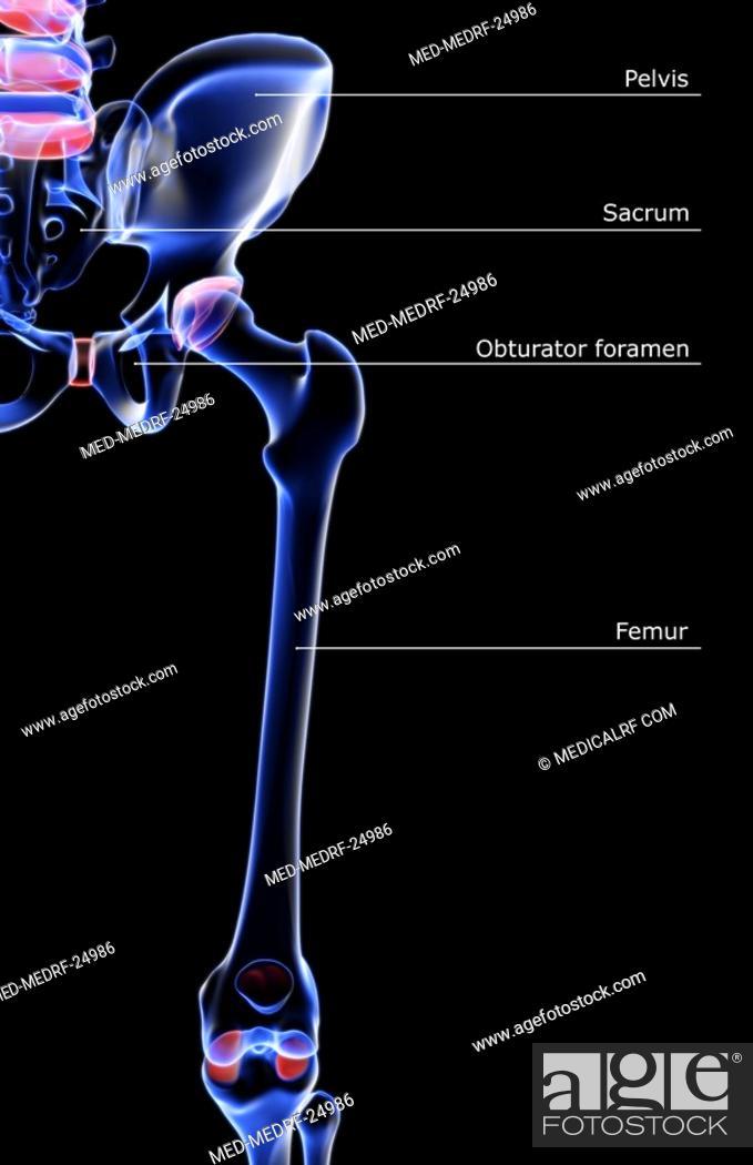 Photo de stock: The bones of the hip and lower limb.