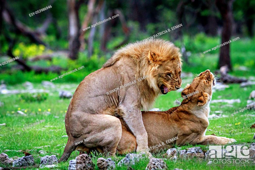 Stock Photo: Mating Lions in the Etosha National Park, Namibia.