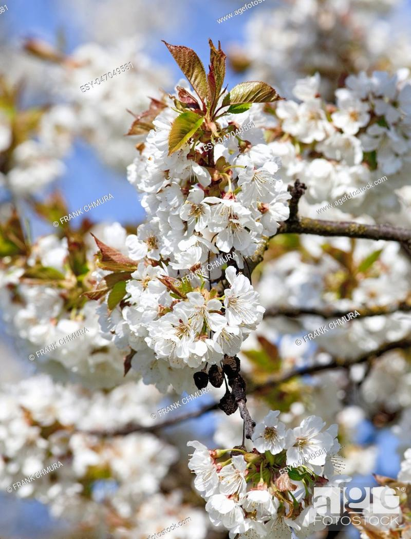 Stock Photo: White Cherry Flowers at Blossom in Spring.