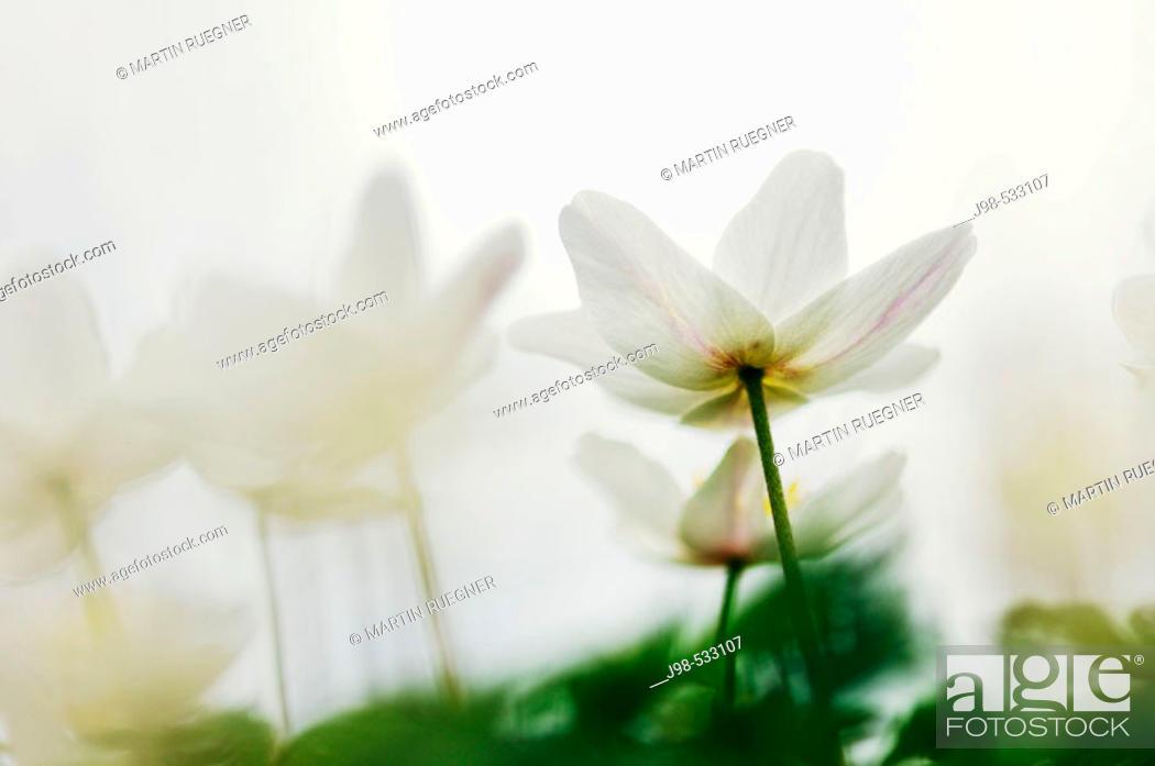 Stock Photo: Wood Anemone (Anemone nemorosa). Bavaria, Germany.