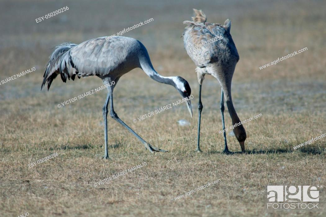 Stock Photo: Common cranes (Grus grus). Adult and juvenile searching for food. Gallocanta Lagoon Natural Reserve. Aragon. Spain.