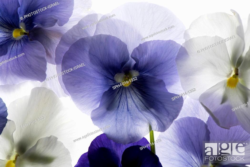 Stock Photo: backlit pansies.