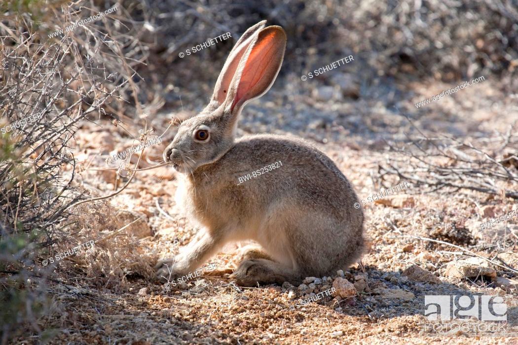 Jack Rabbit Usa >> Black Tailed Jack Rabbit Lepus Californicus Feeding Usa