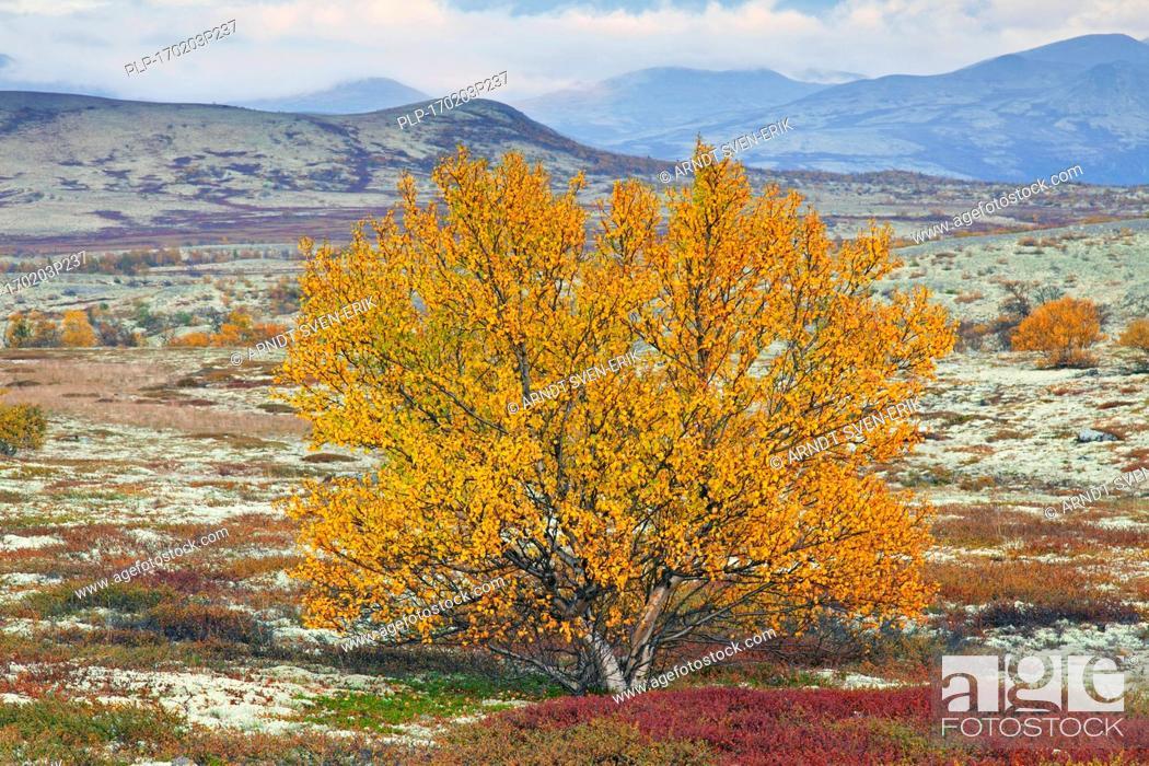 Stock Photo: European white birch / downy birch / moor birch (Betula pubescens / Betula alba) on the tundra in autumn, Rondane National Park, Dovre, Oppland, Norway.