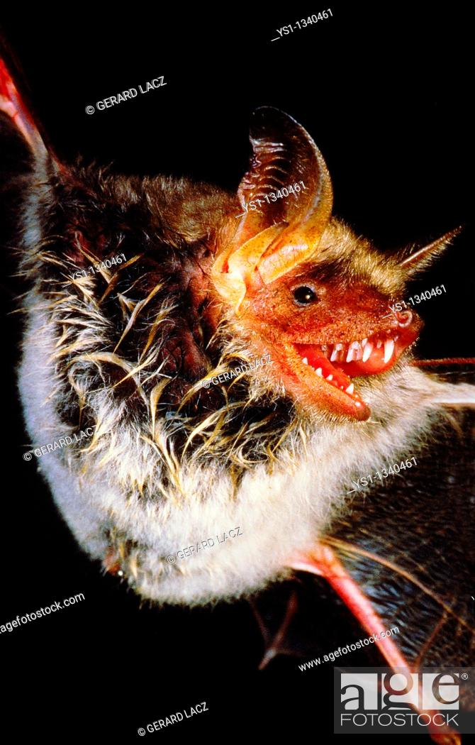 Stock Photo: MOUSE-EARED BAT myotis myotis, ADULT IN FLIGHT, CLOSE-UP OF THE BODY.