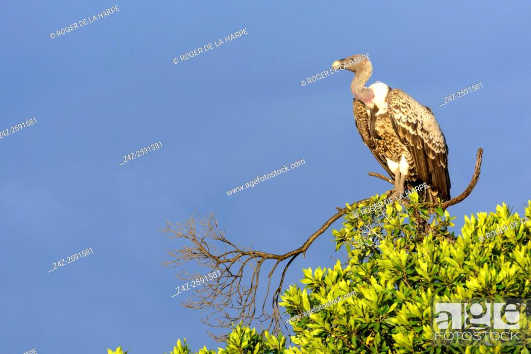 Stock Photo: Rüppell's vulture or Rüppell's griffon vulture (Gyps rueppellii). Serengeti National Park. Tanzania.