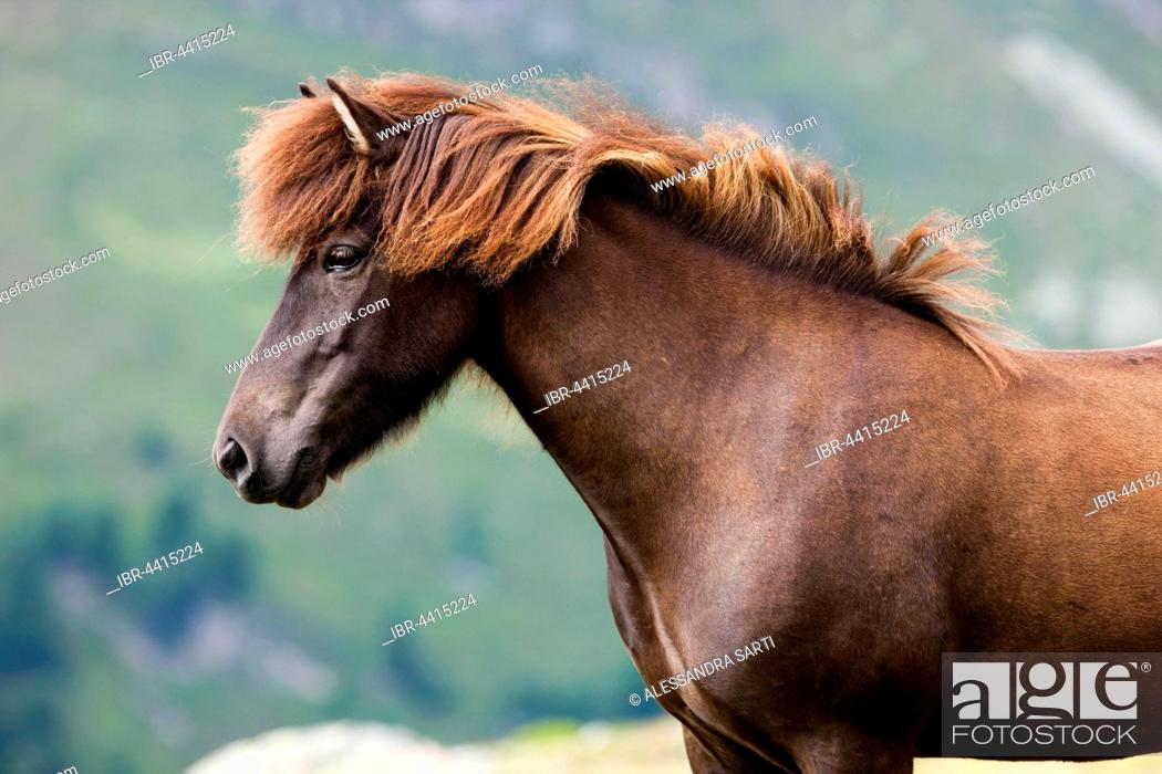 Stock Photo: Liver chestnut Icelandic, pasture, Kühtai, Tyrol, Austria.