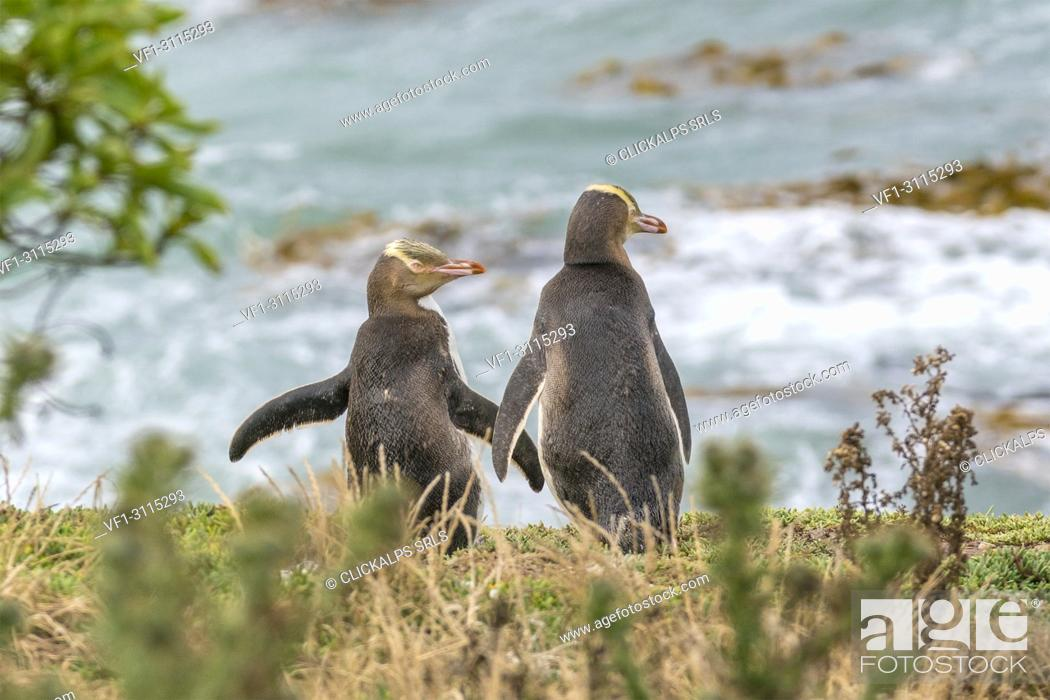 Imagen: Pair of yellow eyed penguins at Katiki Point in summer. Moeraki peninsula, Waitaki district, Otago region, South Island, New Zealand.