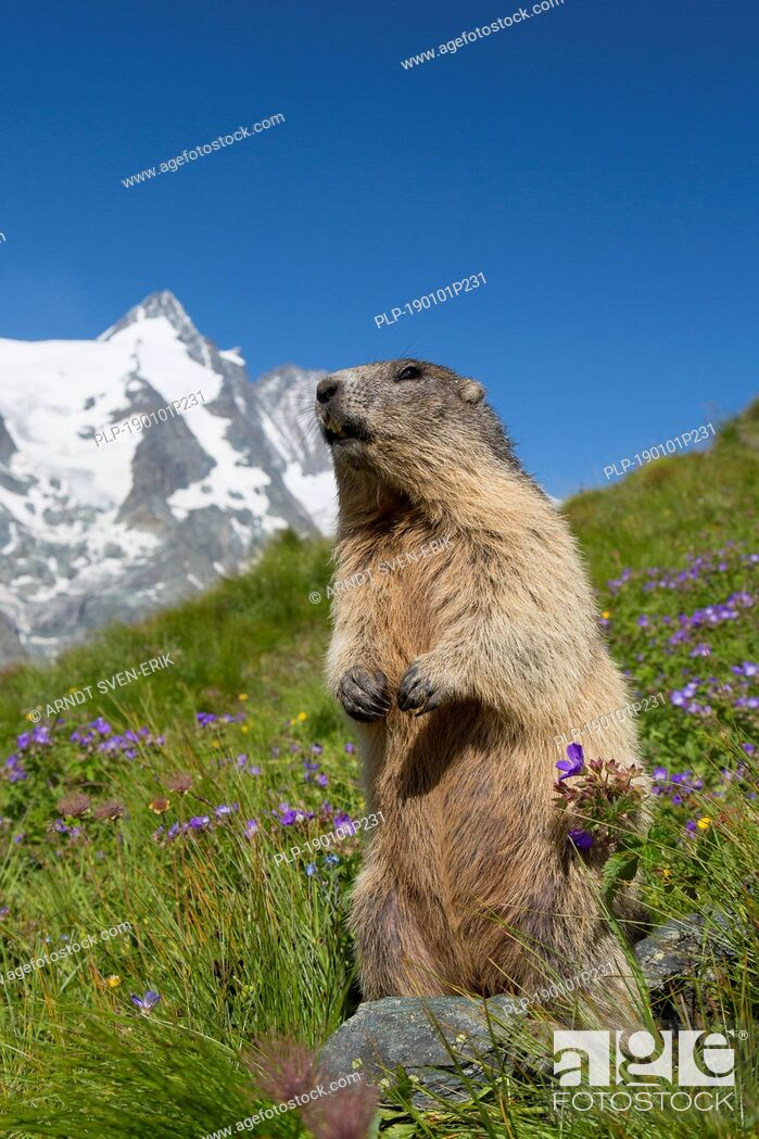 Stock Photo: Alpine marmot (Marmota marmota) standing in front of the snow covered mountain Grossglockner, Hohe Tauern National Park, Carinthia, Austria.