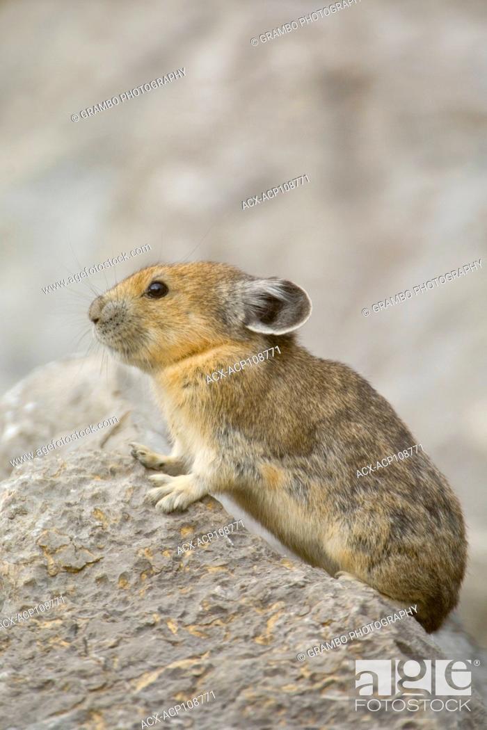 Stock Photo: Pika, Ochotona princeps, among rocks of talus slope, Jasper National Park, Alberta, Canada.