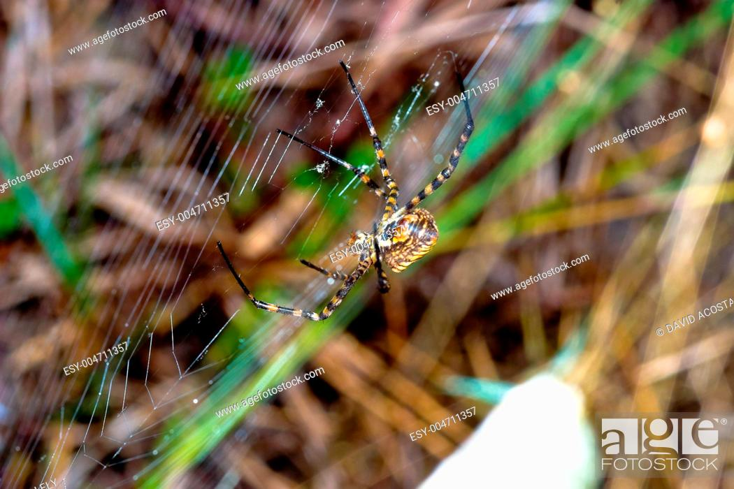 Stock Photo: Spider, Argiope bruennichi.