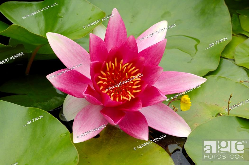 Imagen: Waterlily (Nymphaea), blossom and pads.