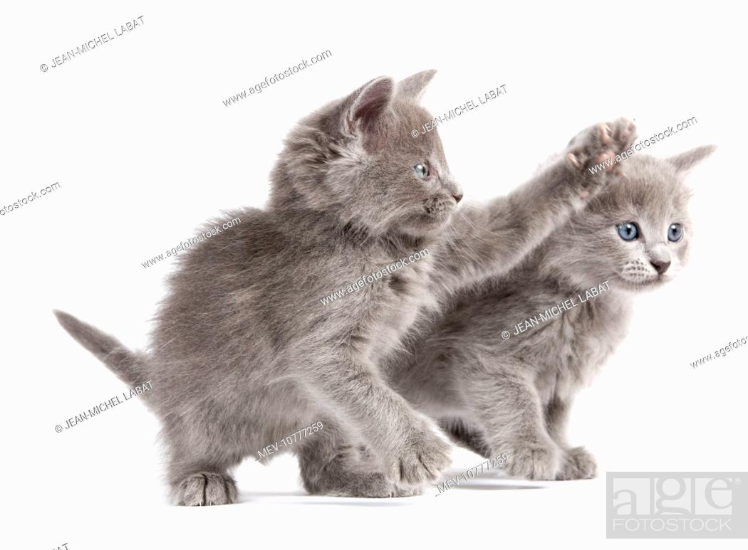 Nebelung Kittens, Stock Photo, Picture And Rights Managed