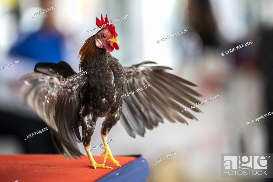 Stock Photo: KPass Serama Sarawak Contest at Summer Mall, Kota Samarahan, Sarawak, Malaysia.