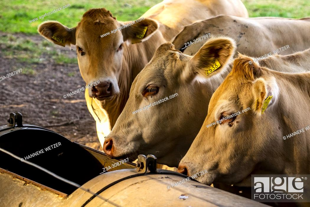 Photo de stock: Dutch cows eating from a trough in a meadow in Berg en Dal, Netherlands.