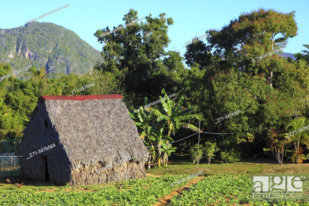 Stock Photo: Cuba, Vinales Valley, Valle de Vinales, tobacco farm, tobacco drying barn, bohio, .