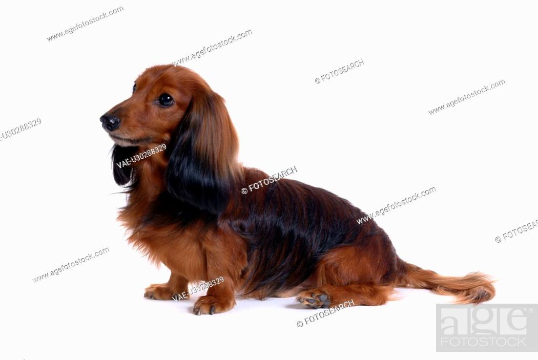 Stock Photo: canine, domestic animal, closeup, close up, looking forward, dachshund.