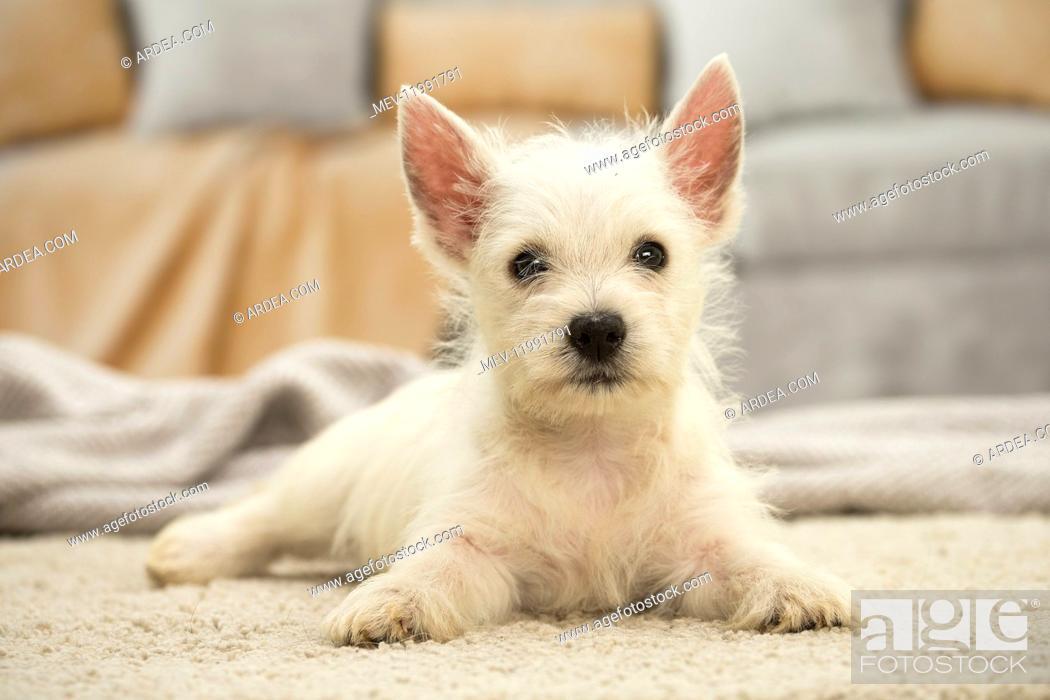 Stock Photo: West Highland White Terrier Dog, Westie, puppy.
