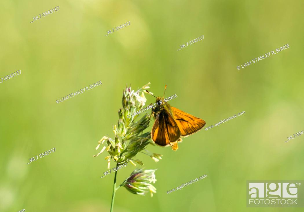 Stock Photo: Large Skipper (Ochlodes sylvanus) male identifiable by It's prominent black markings on the forewings, Herefordshire UK. June 2020.