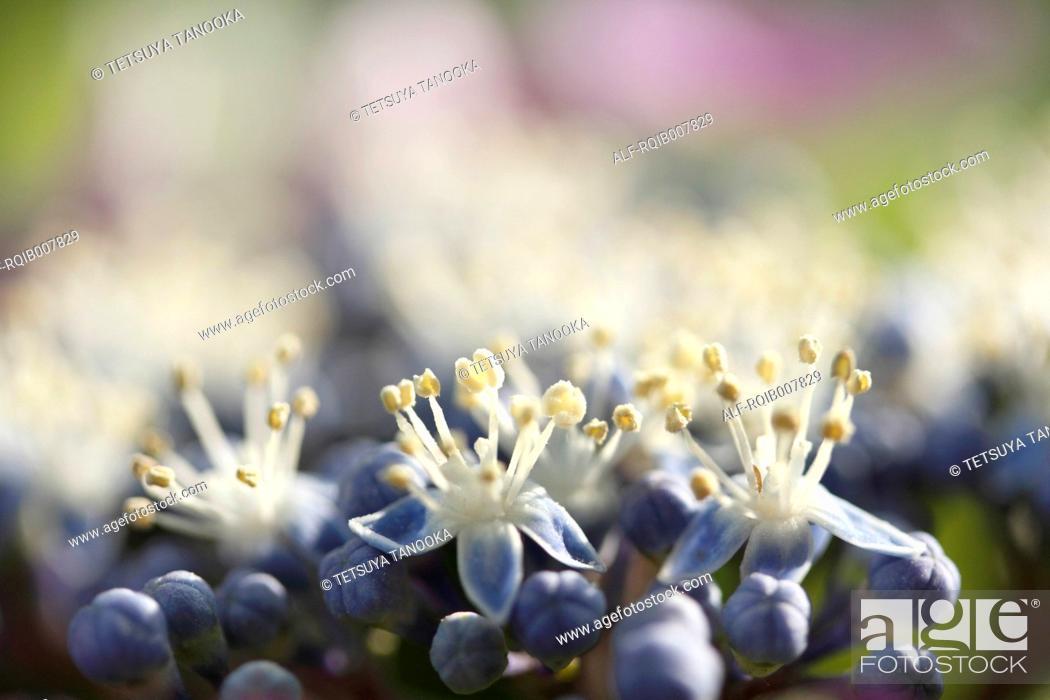 Stock Photo: Hydrangea.