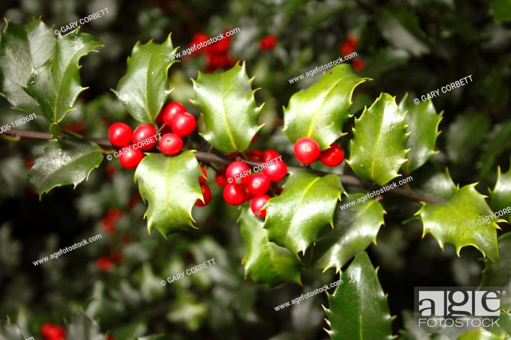 Stock Photo: Blue Princess Holly bush - Ilex pron : /'alks/, or holly, is a genus of 400 to 600 species of flowering plants in the family Aquifoliaceae.